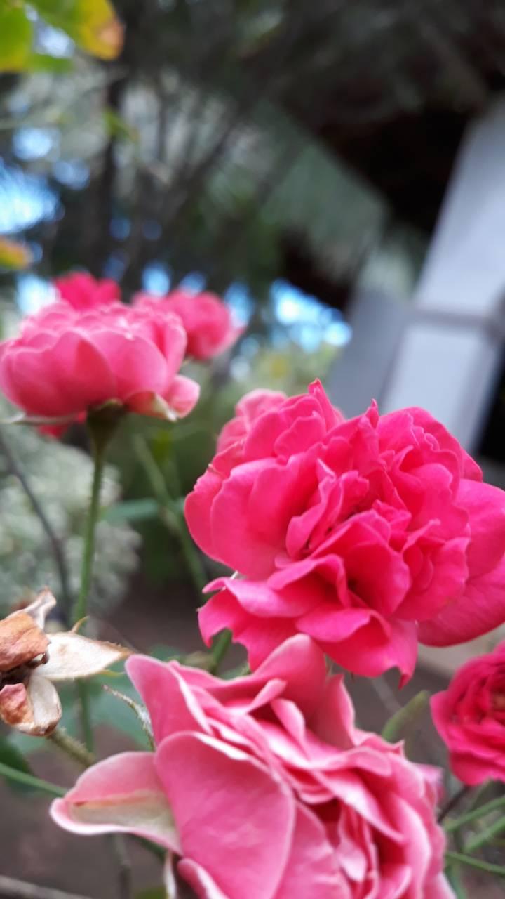 Bg Rose