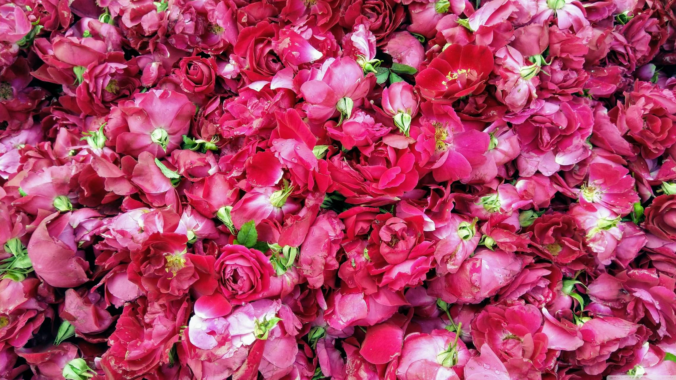 red roses hd