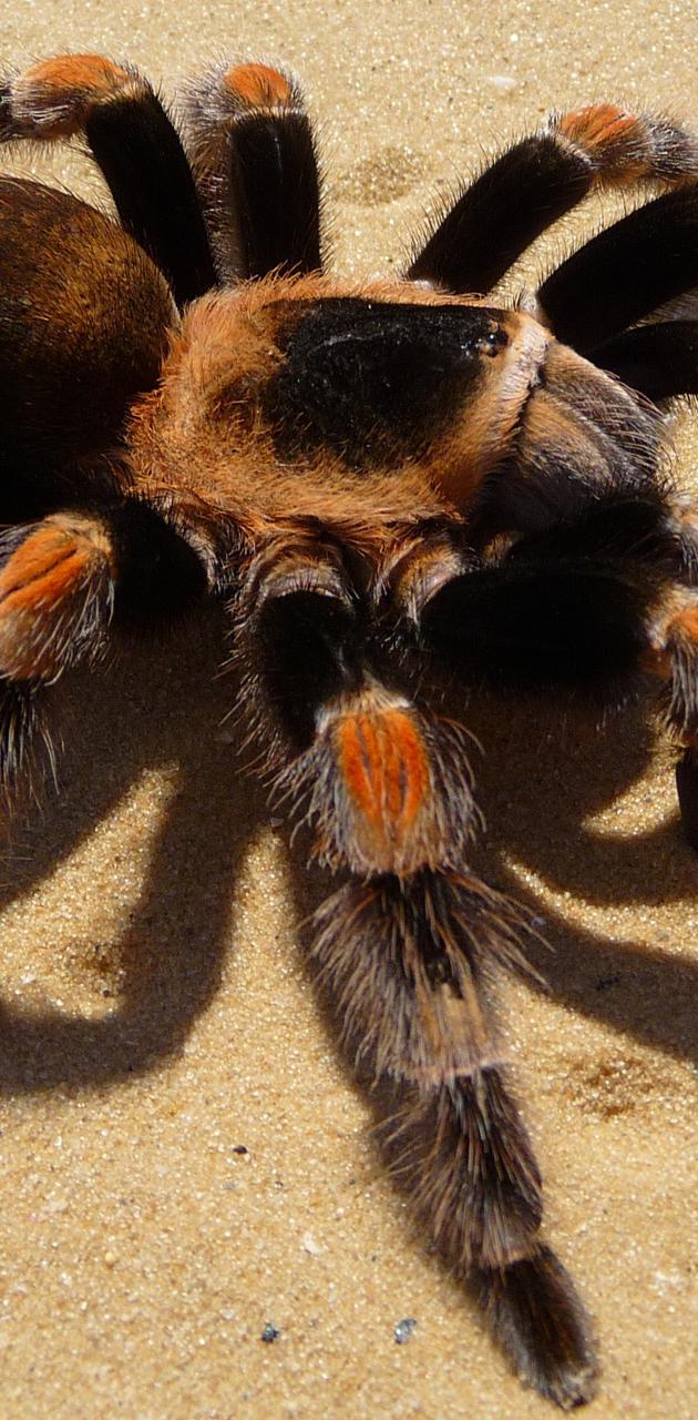 Spider Smithi