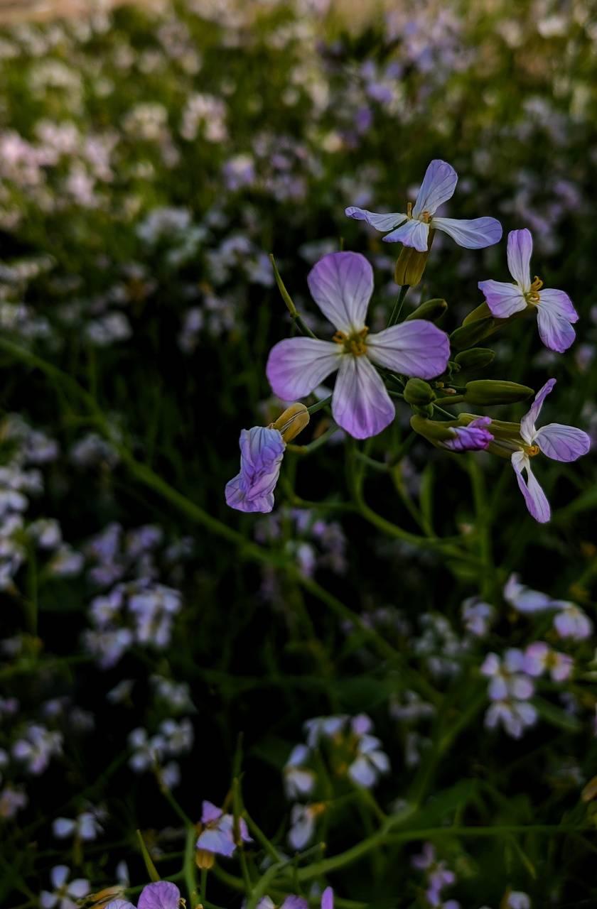 Pink violet Flowers