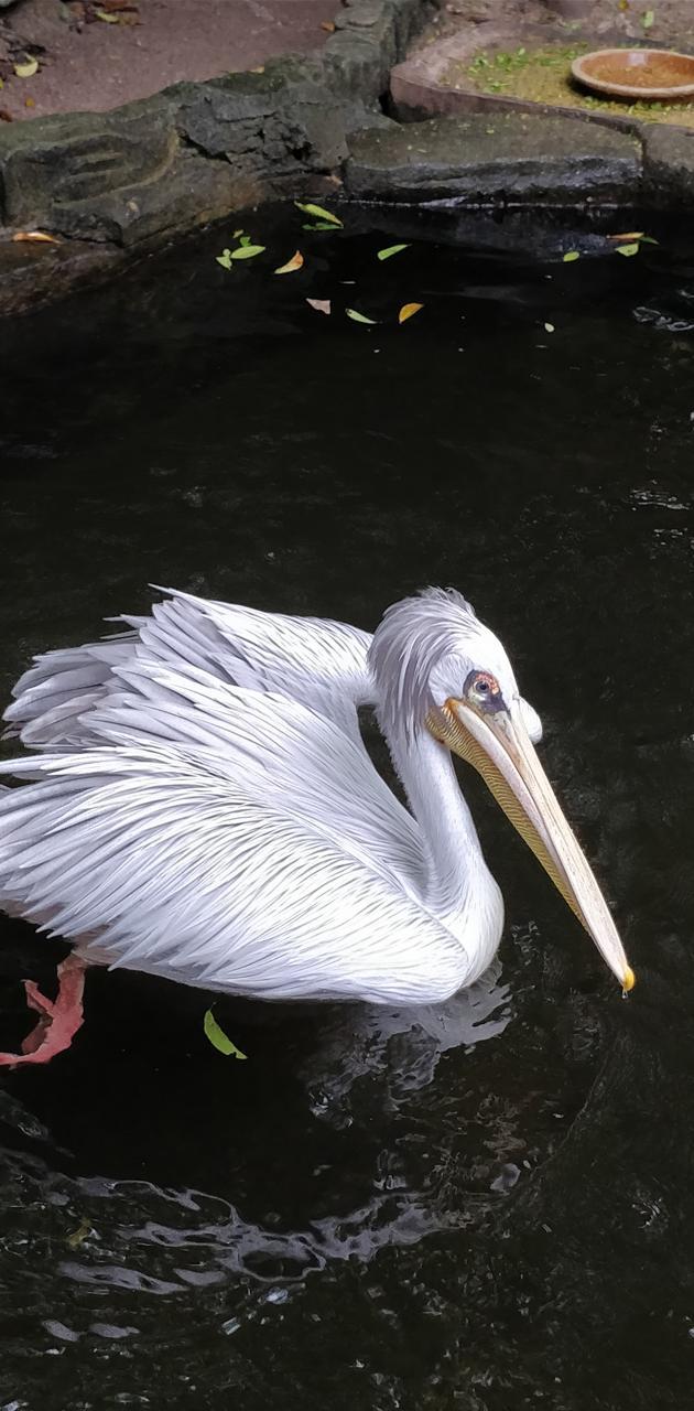Phabulous Pelican
