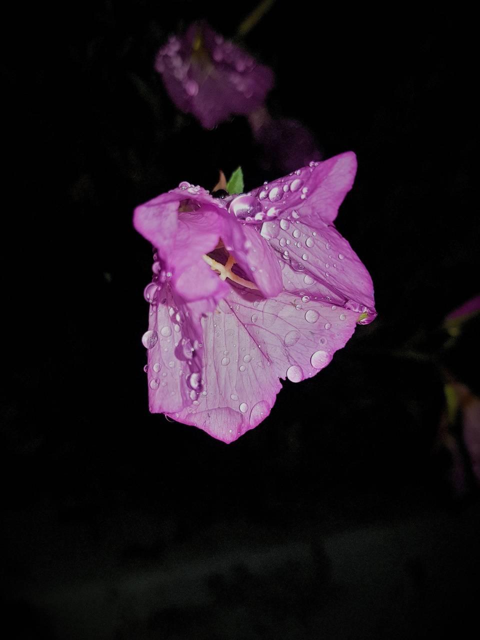 Purple Night Flower