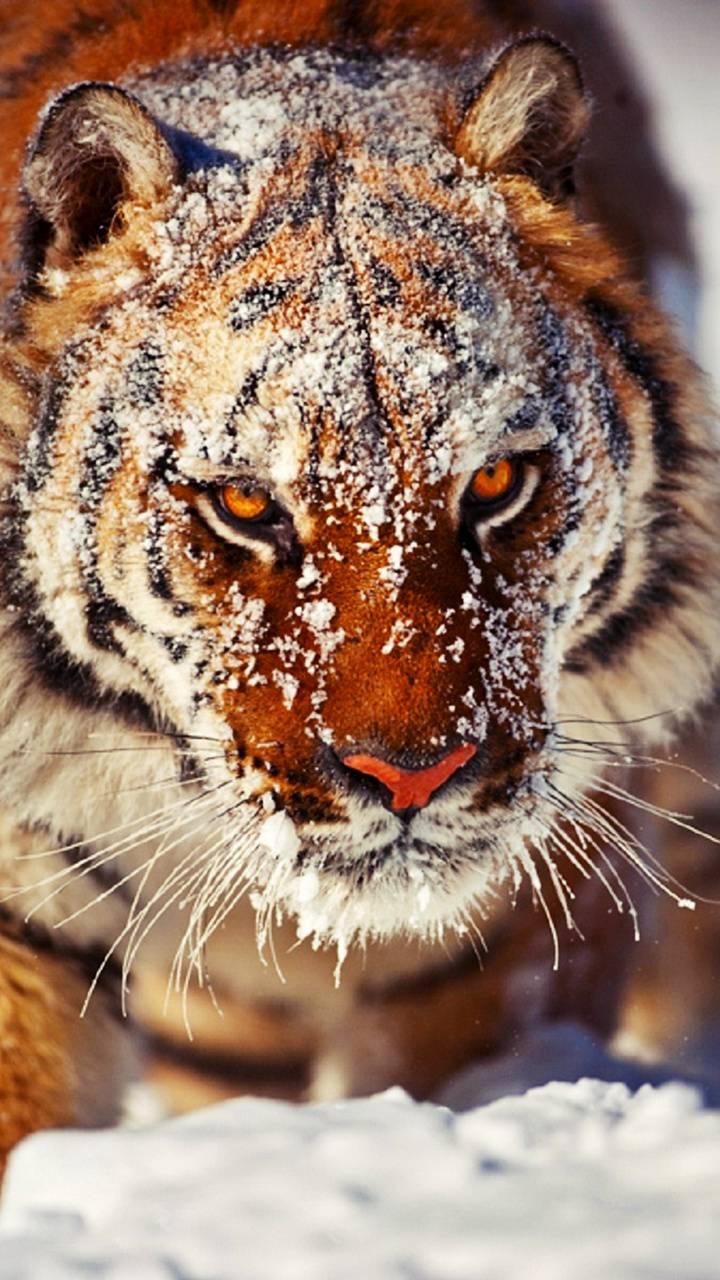 Eye The Tiger