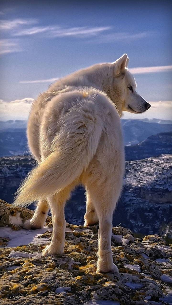 lovely wolf