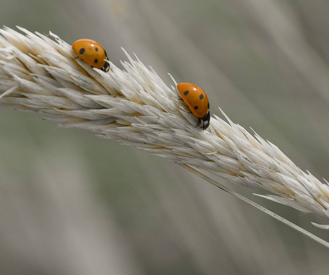 Ladybug Race