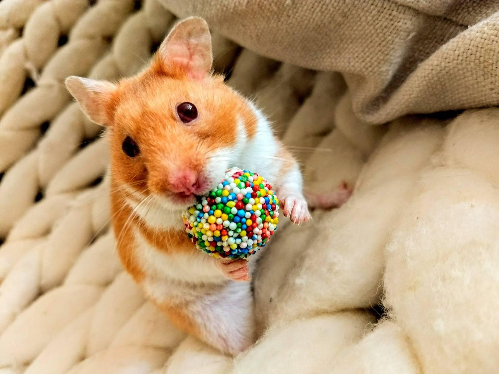 Gumball Hamster