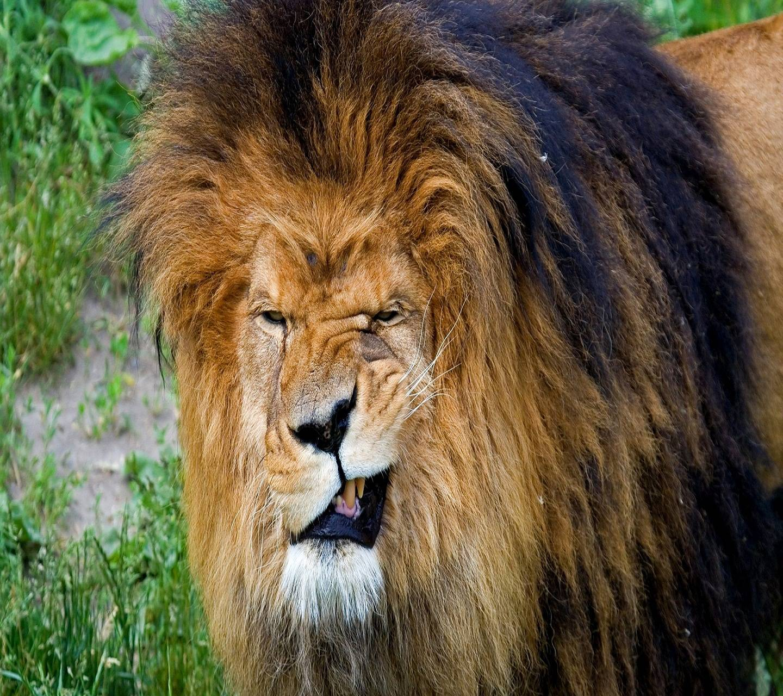 Lion Attitude Wallpaper by DeViL_ViKaS - f7 - Free on ZEDGE™