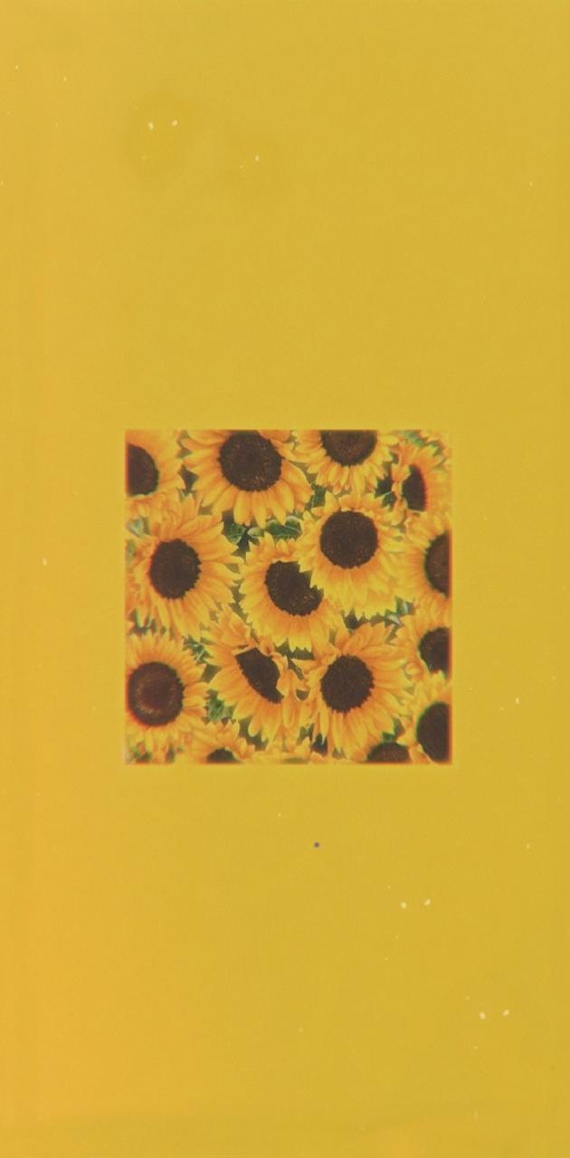Aesthetic Sunflowers