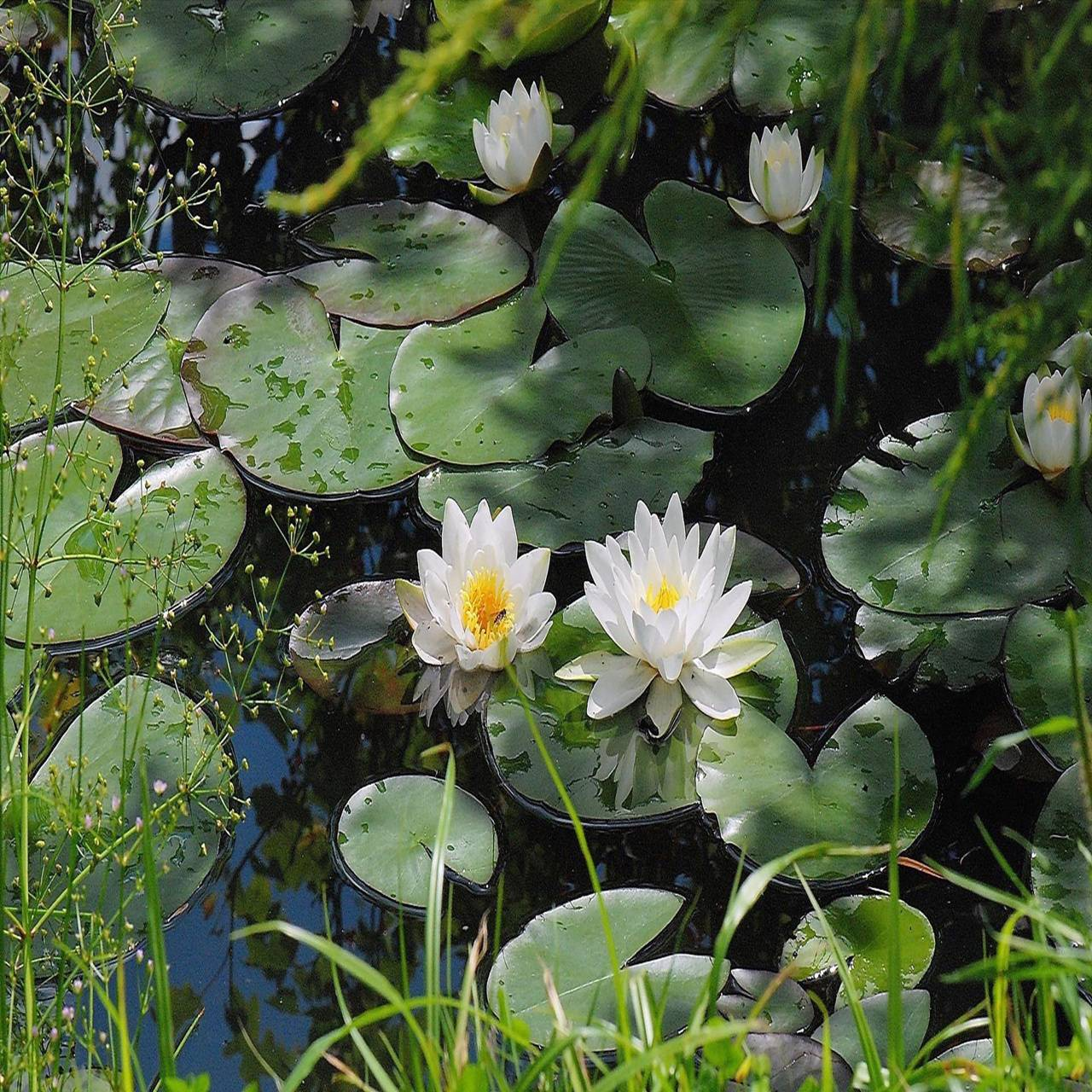 Pond of Lilies