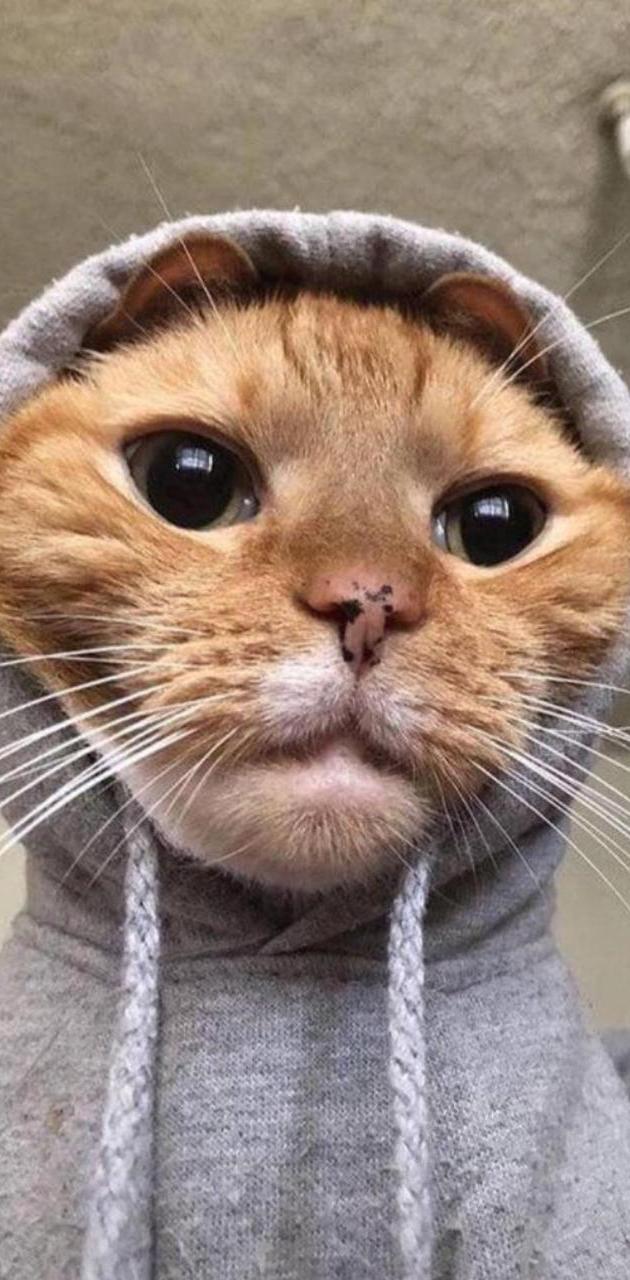 Havali Cat