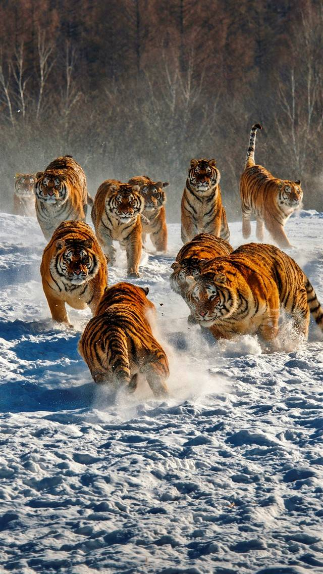 Snow Tiger group