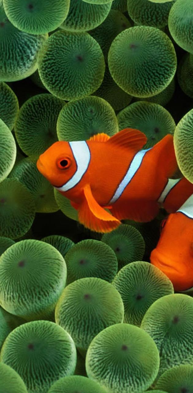 Clown Fish Hd