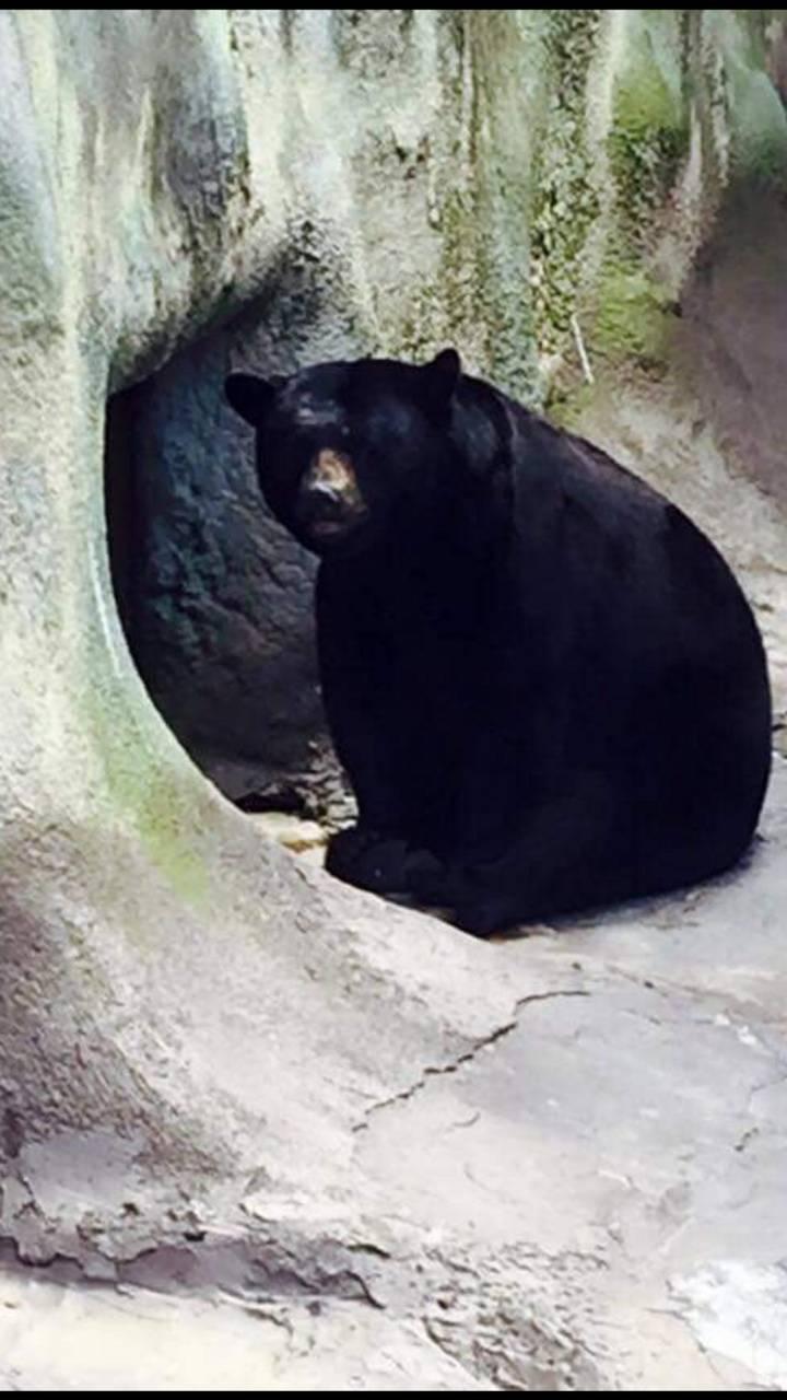 Black Bear in TN