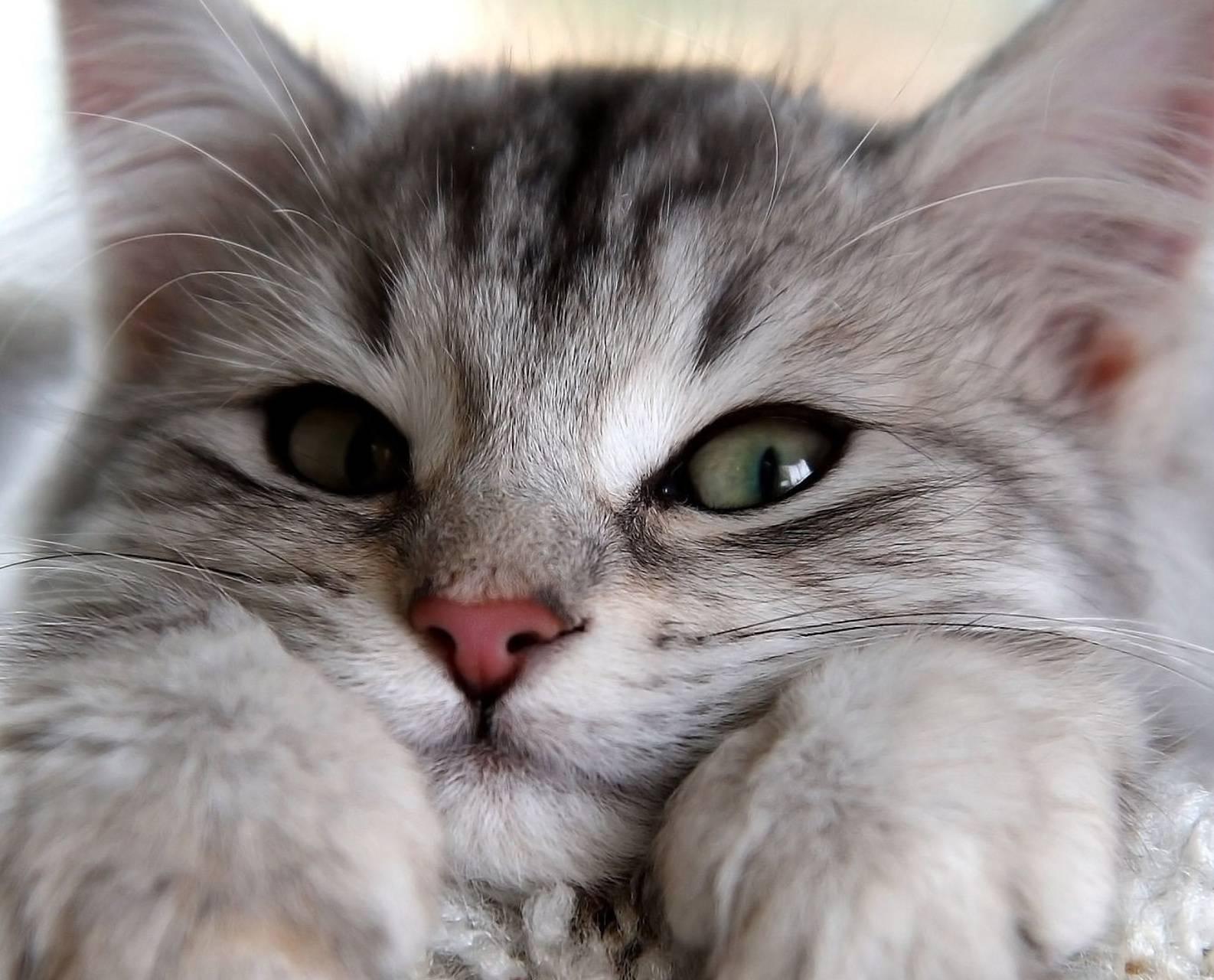 Cutiee Cat