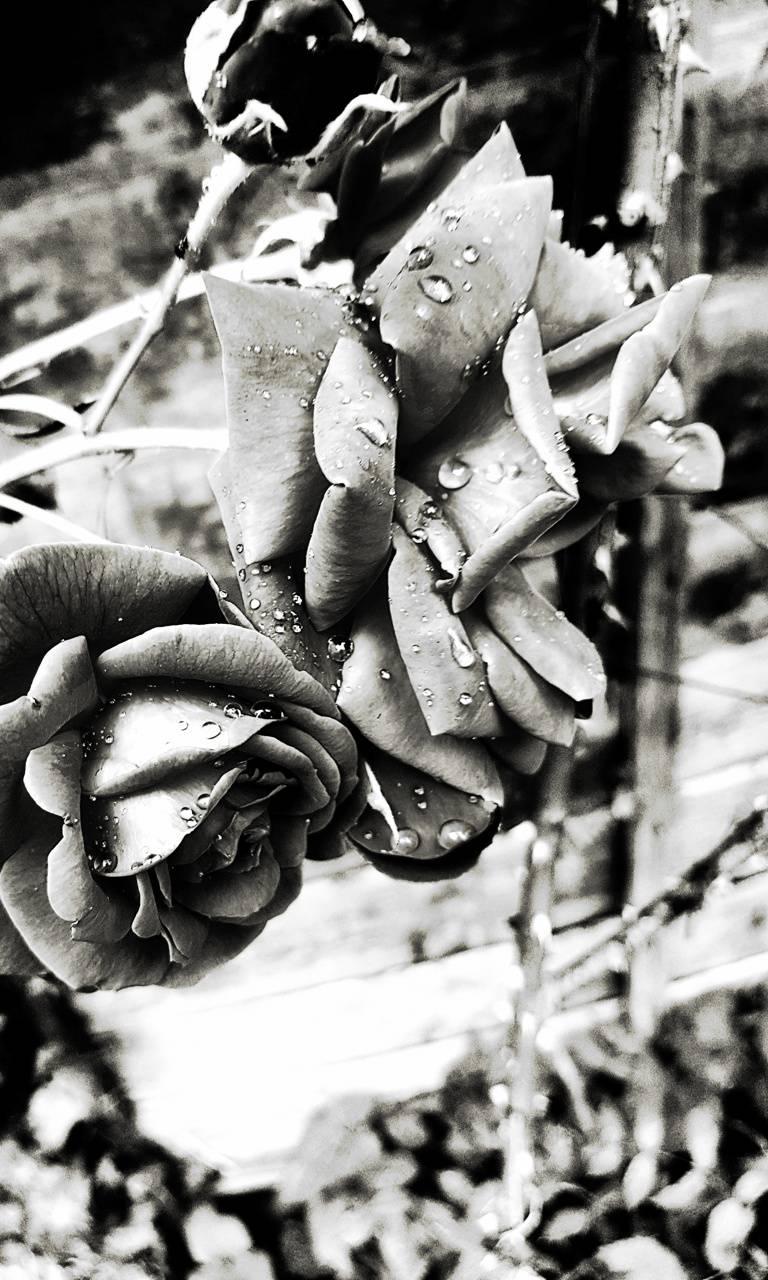 eos dark rose