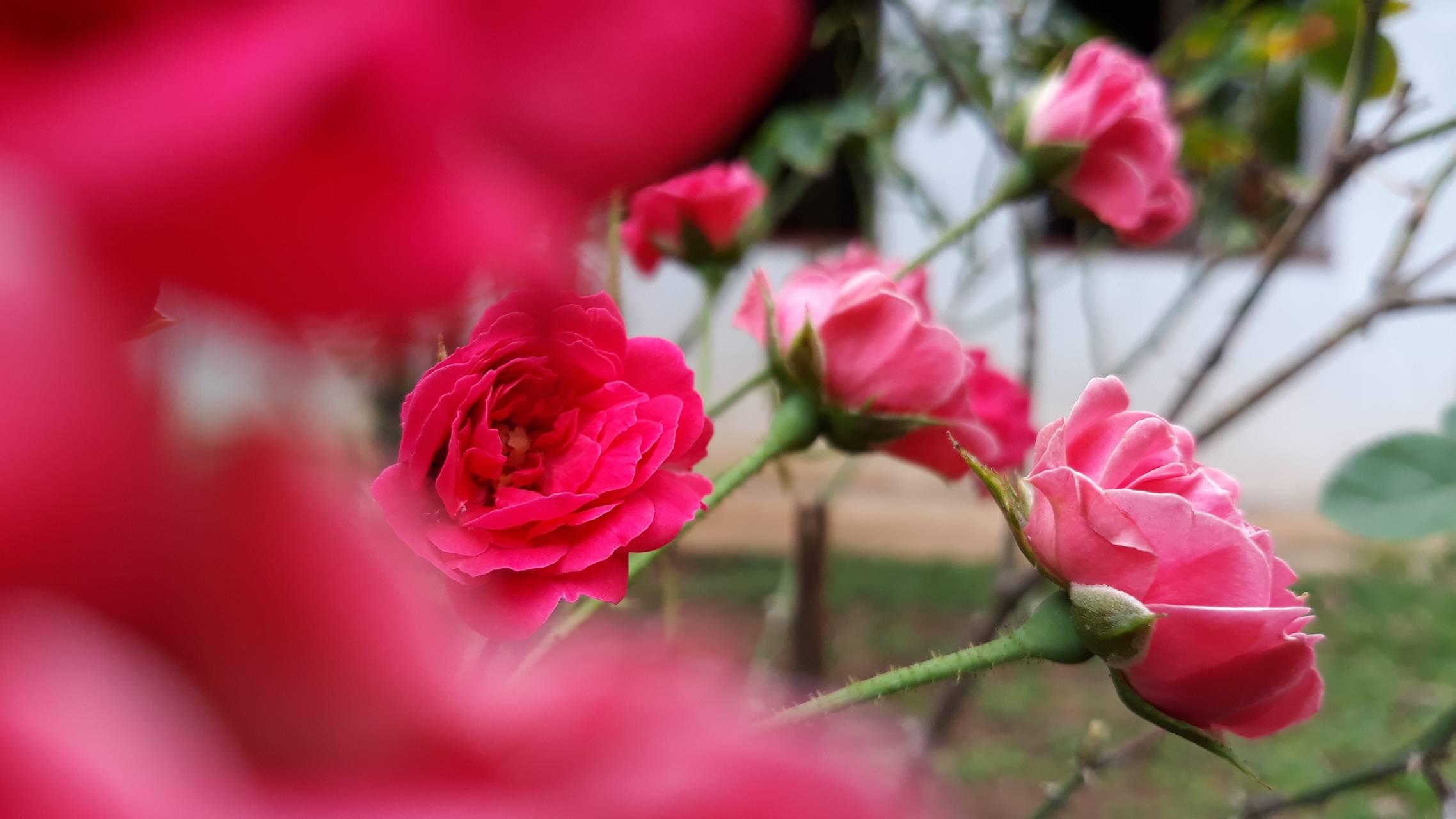 BG Rose Flowers