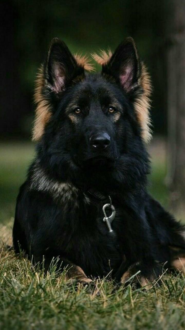 full black german shepherd - 612×800