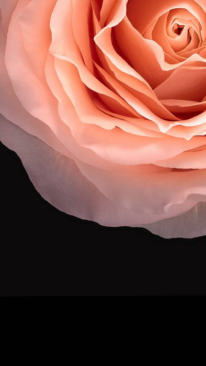 Rose wallpaper