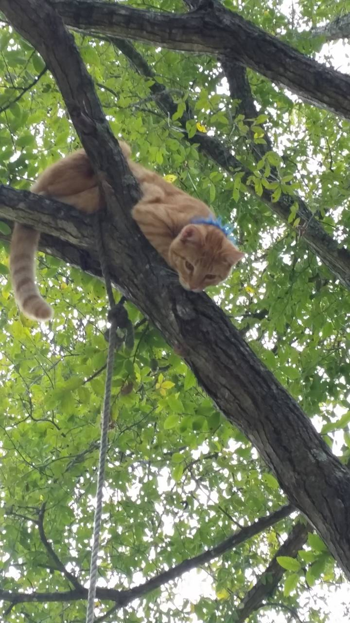 Orange tomcat treed