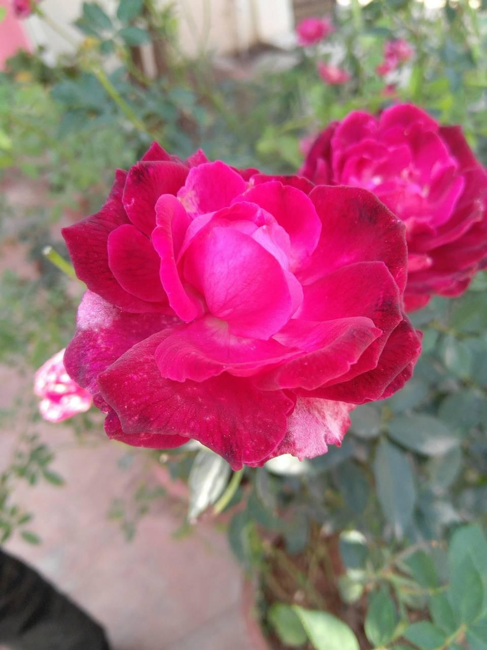 Red Rose sagar
