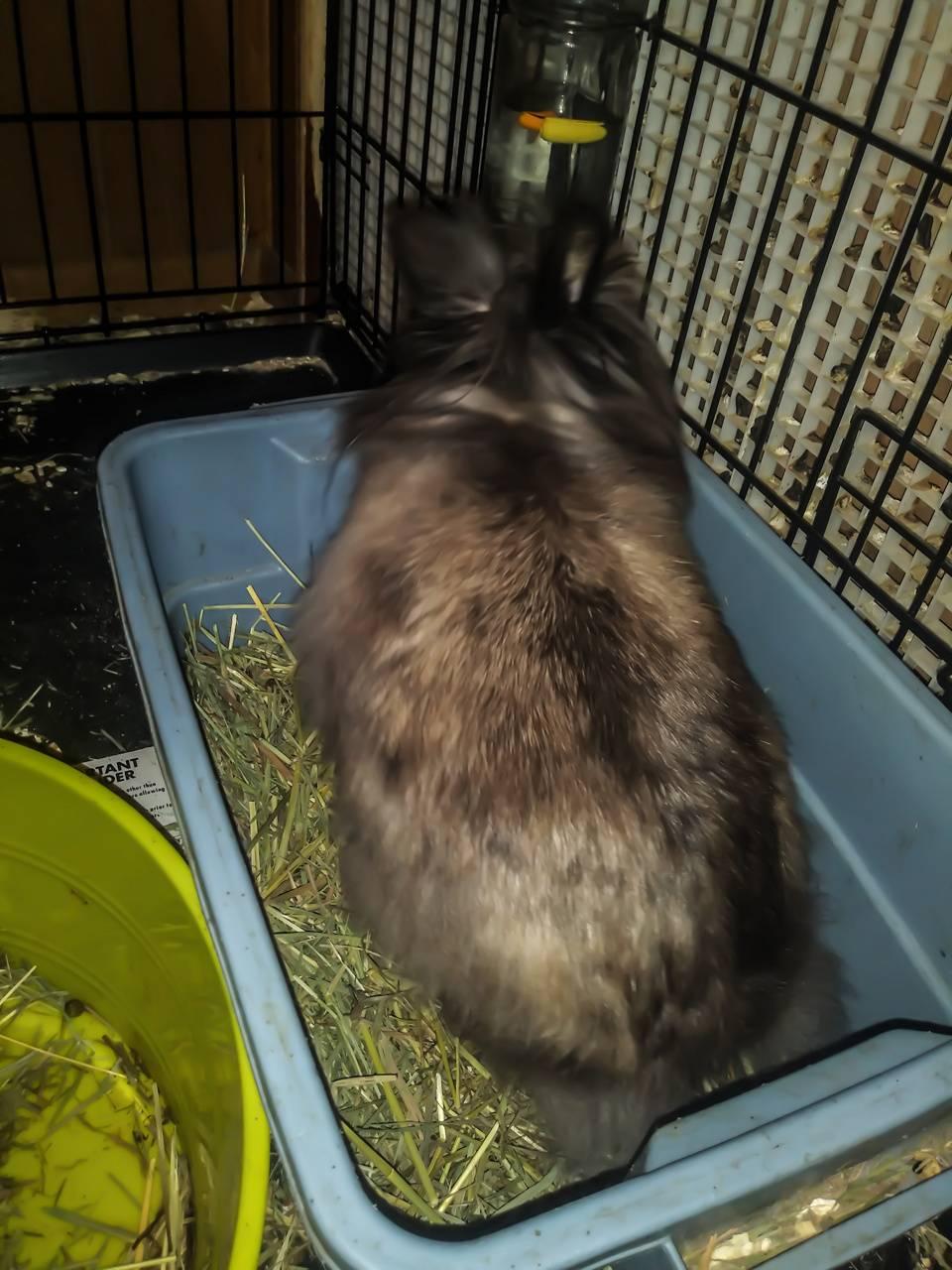 Pregnant rabbit