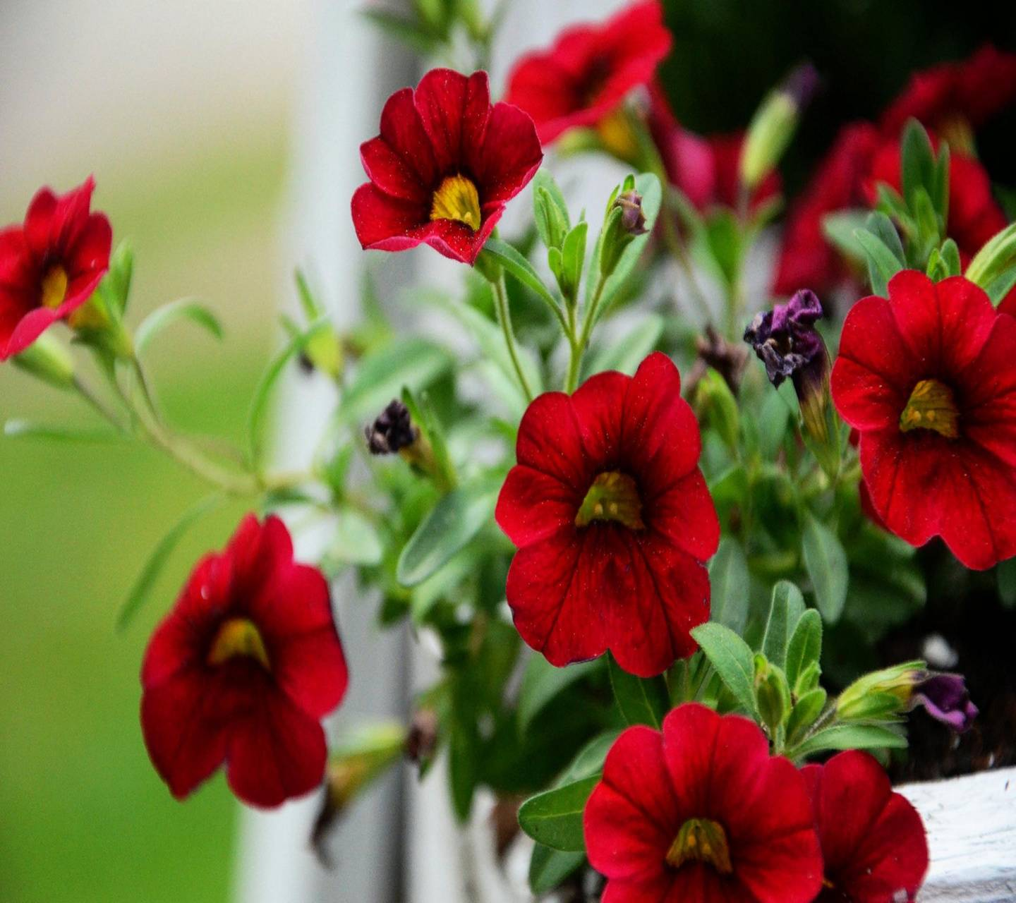 Red morning glory