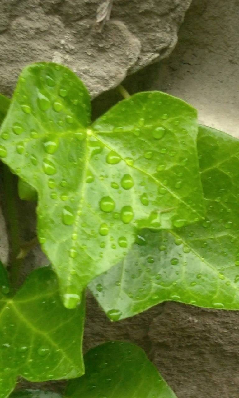 Raindrop leaves