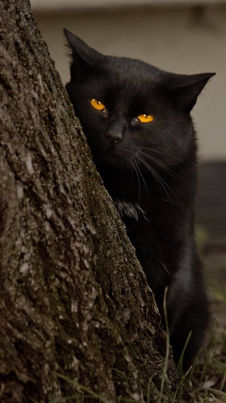 Balck cat