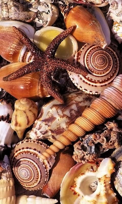 Seashells Starfish