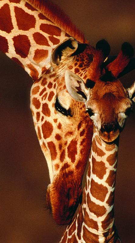 Giraf And Mom