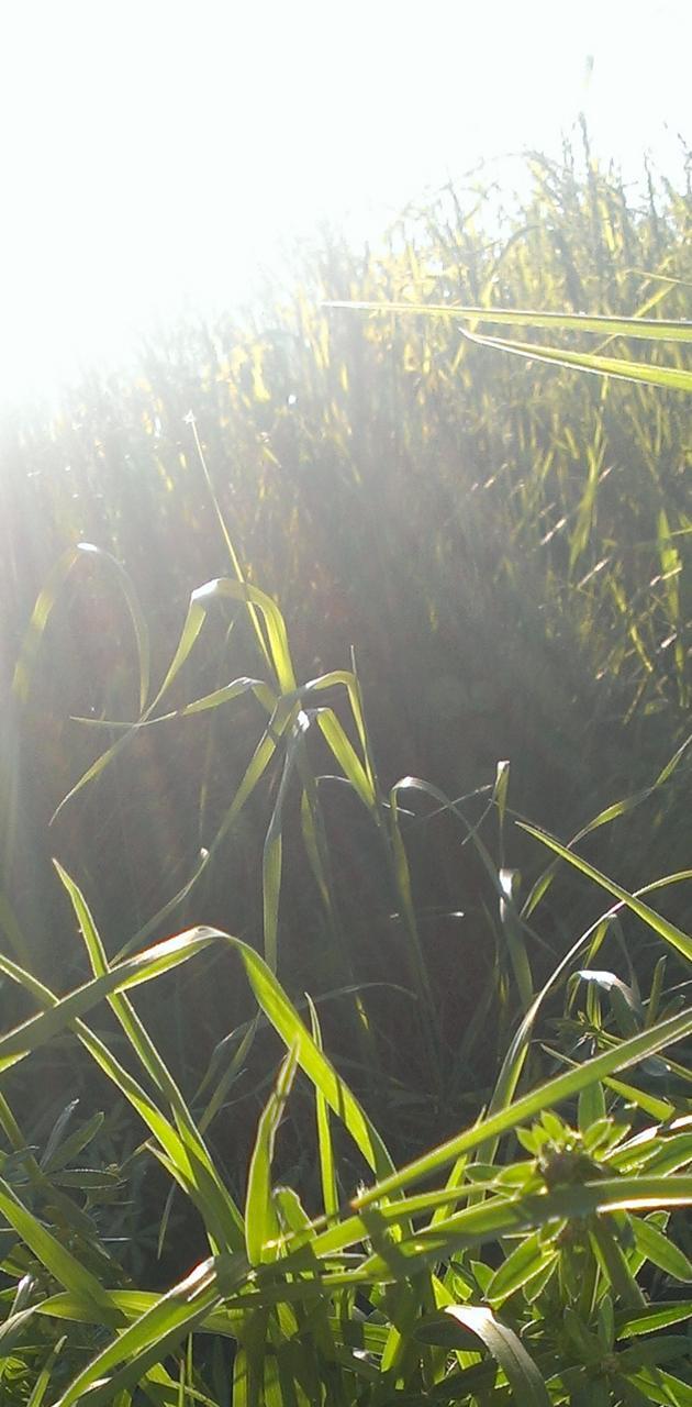 Gras And Sun