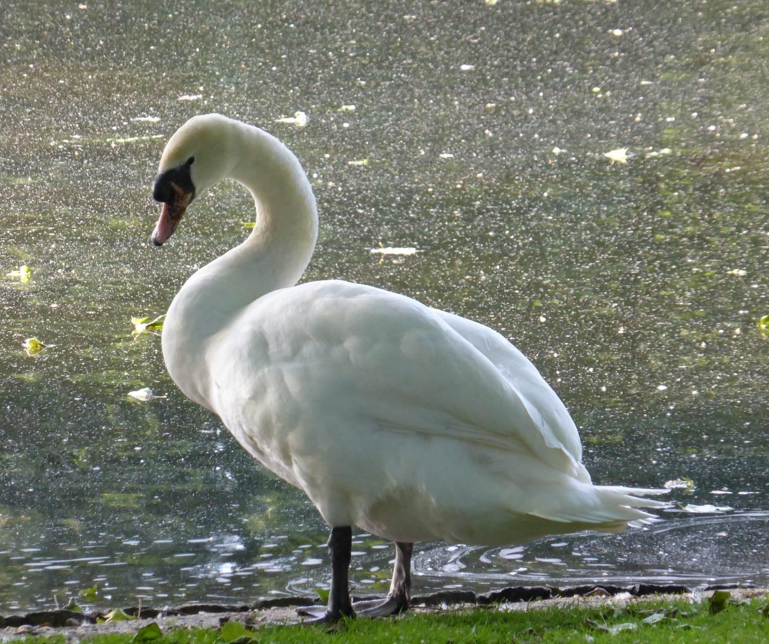 Swan on lake shore