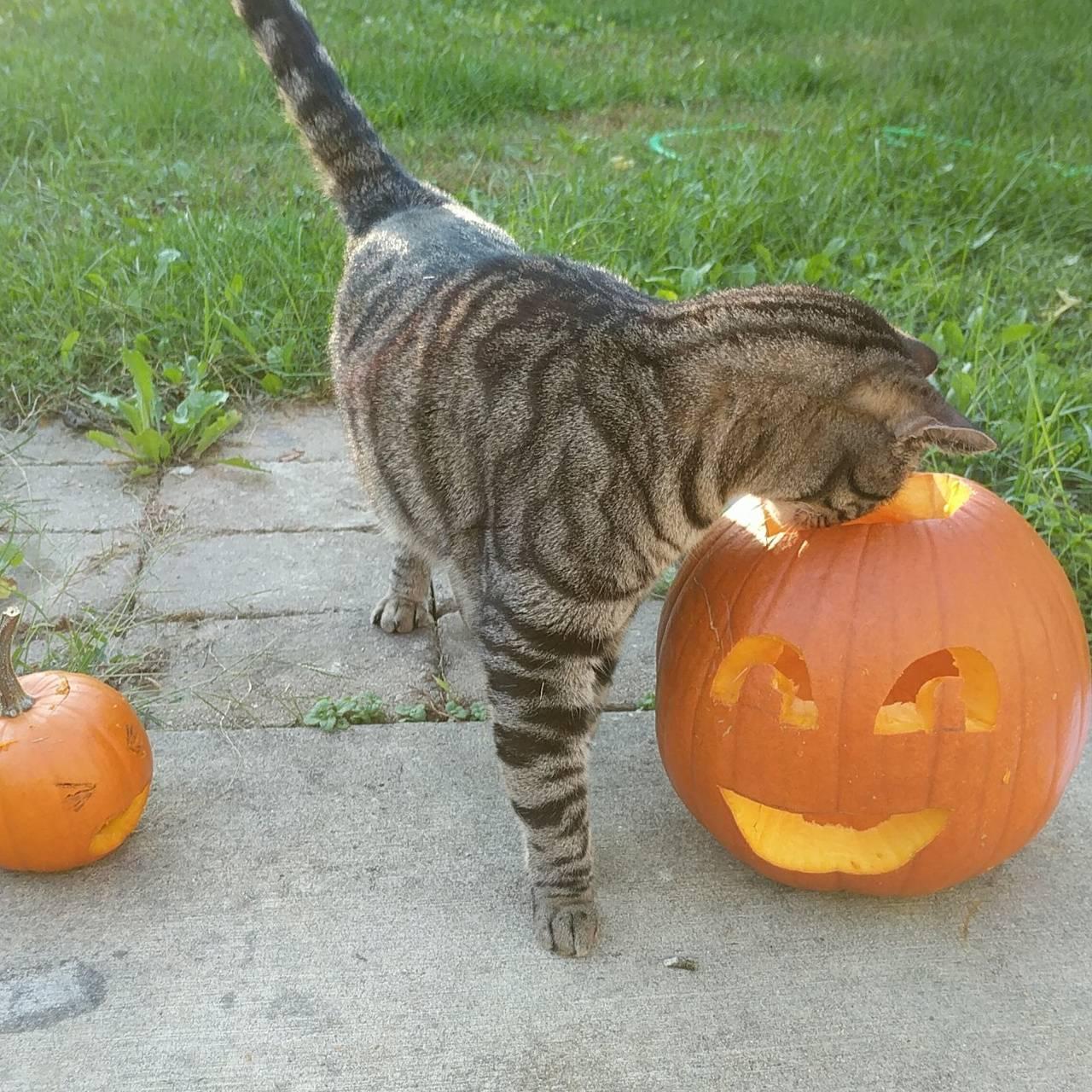 Pumpkin Farris