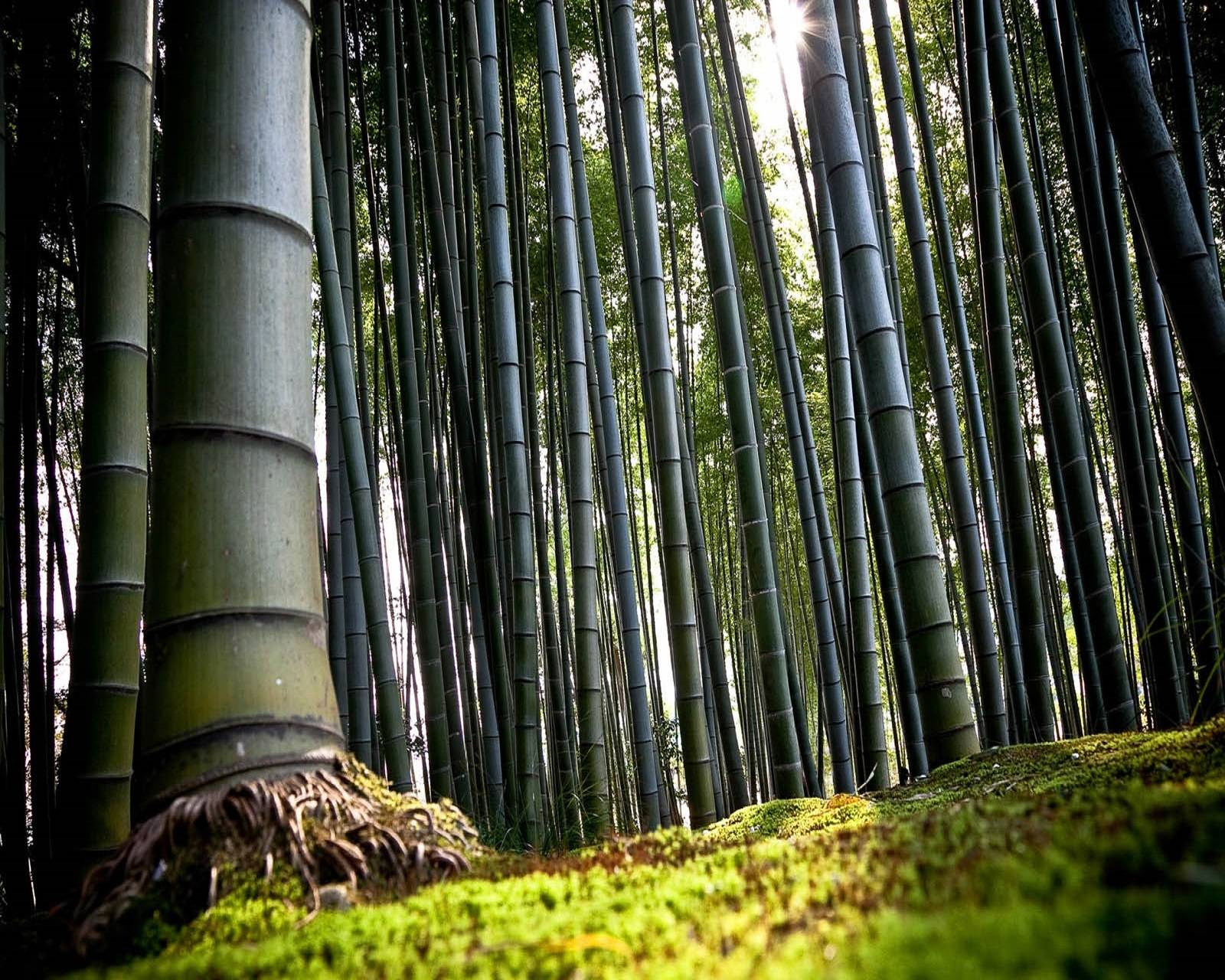Forest Bamboo Tree