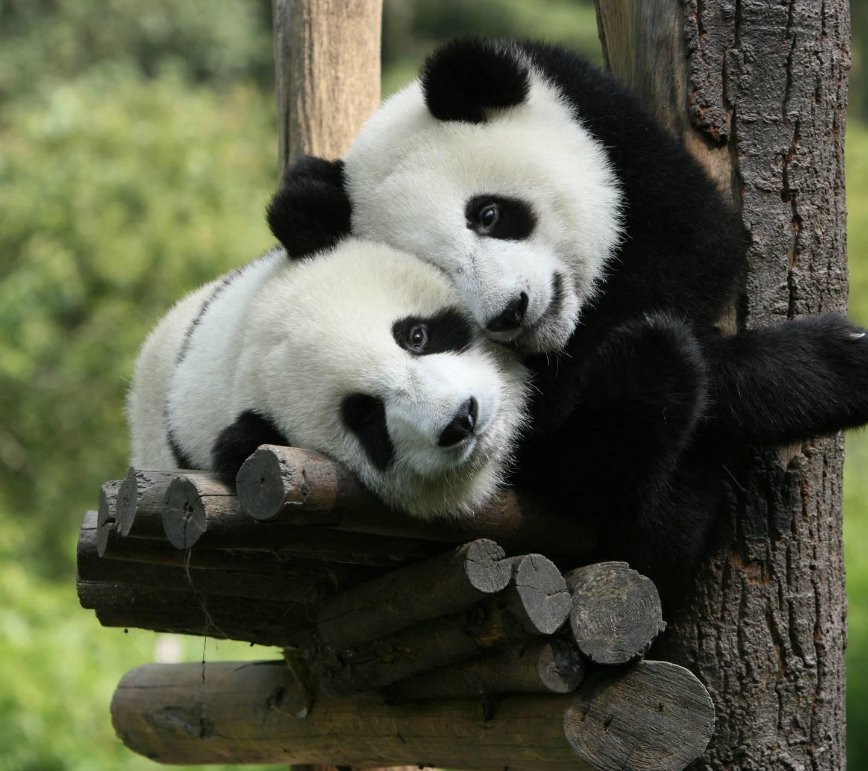Panda Best Friends