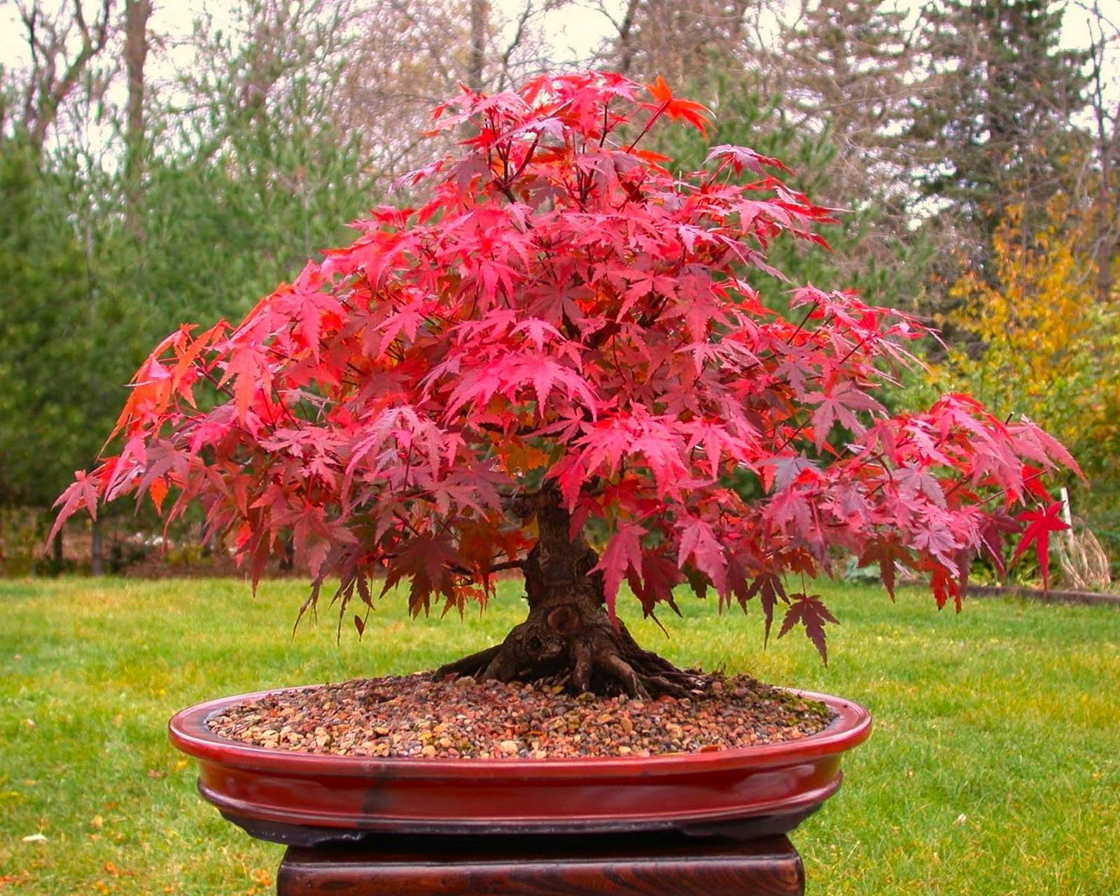 Ripper Red Maple