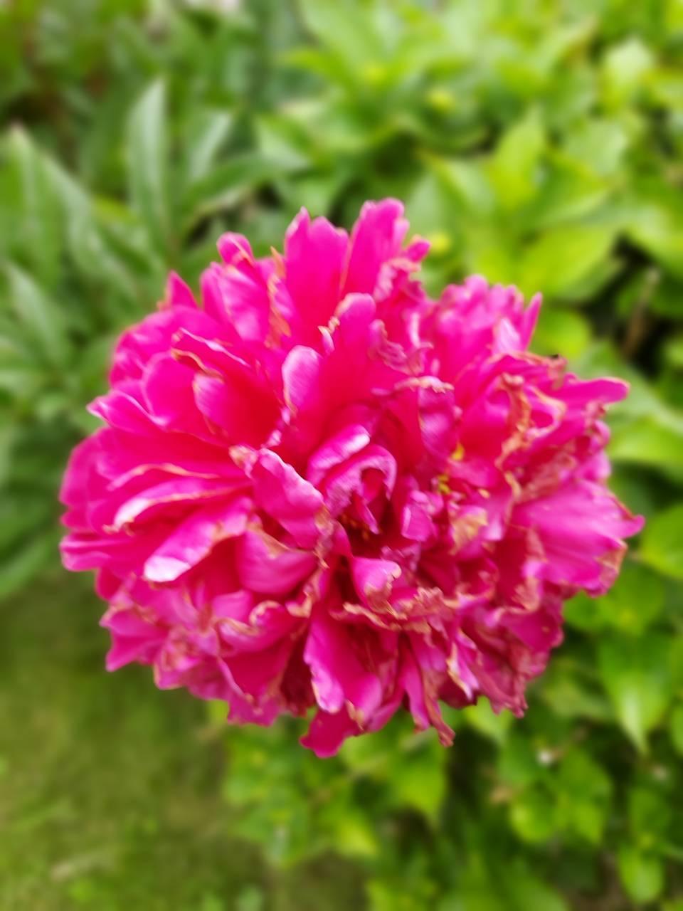 poprot flower