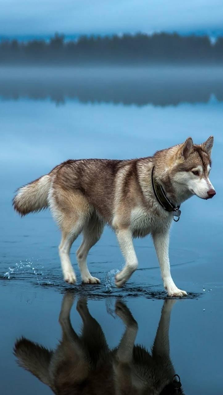Dog walking on water