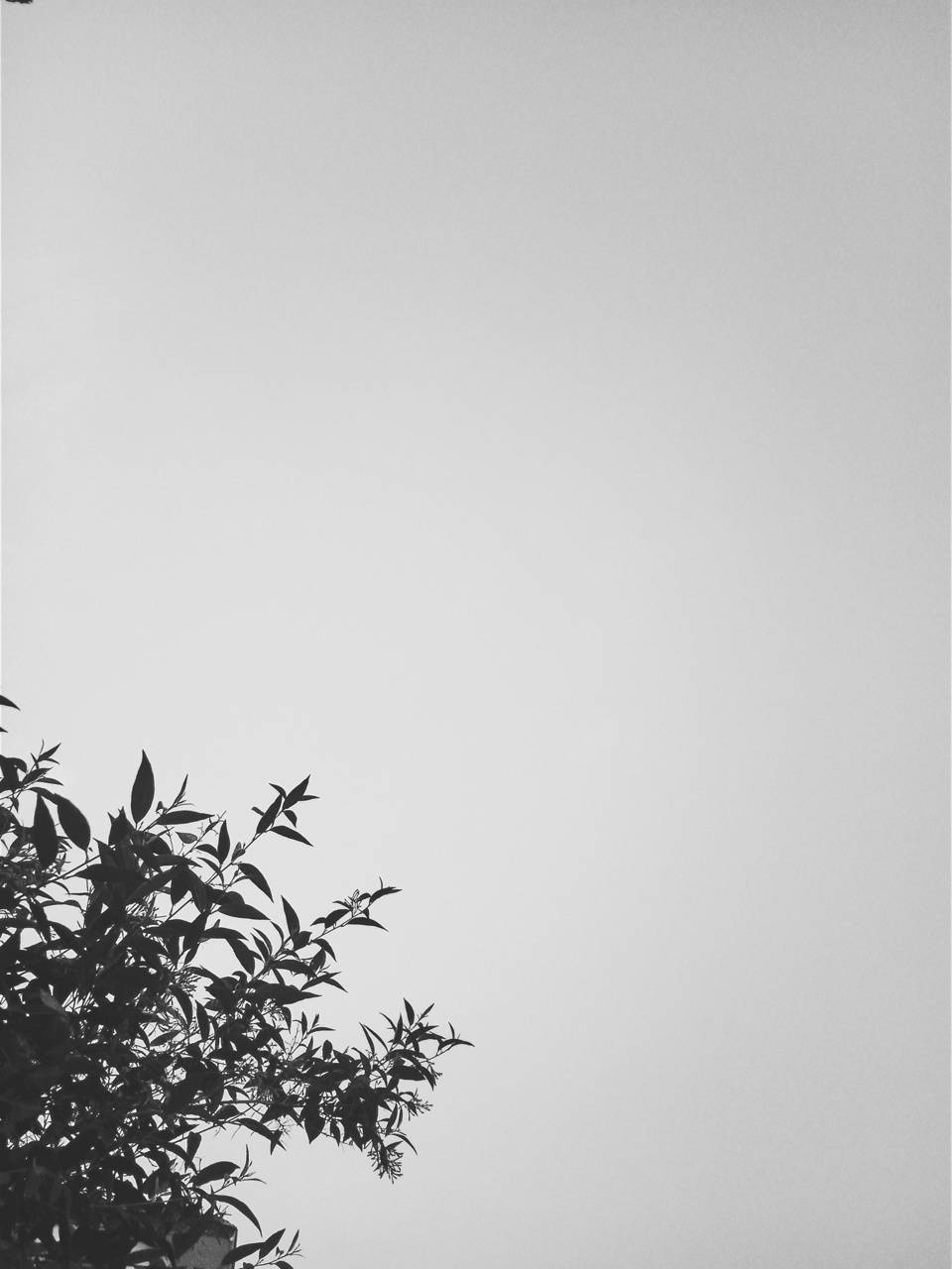 black  leafs