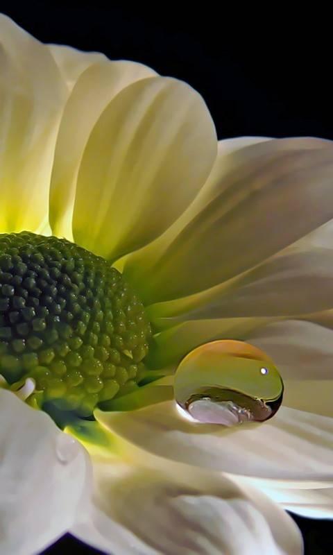 flower with dew drop