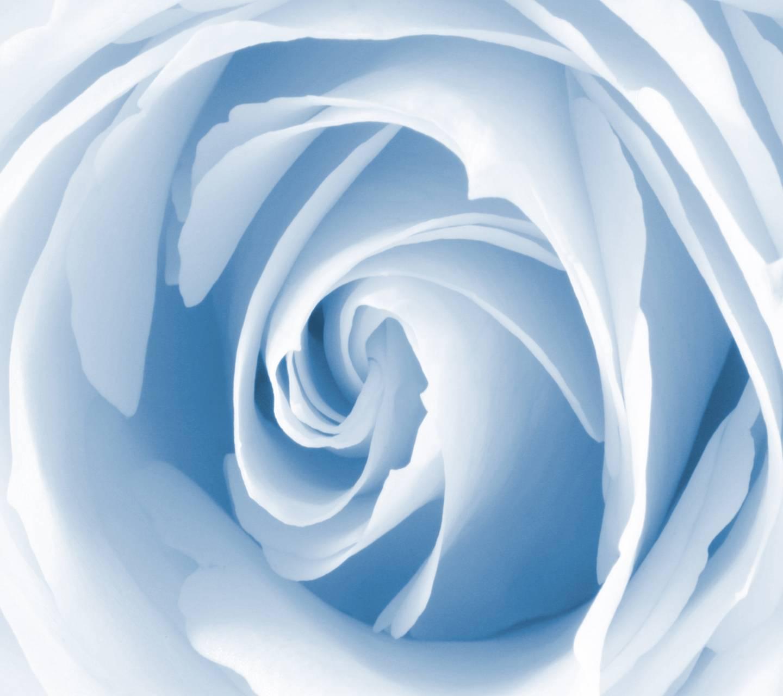 Soft Blue Rose