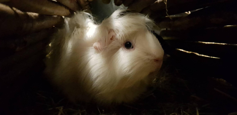 Guinea pig love 2