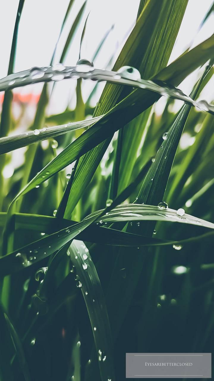Water drops grass