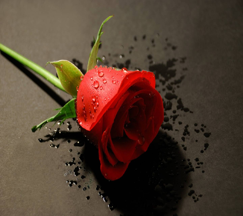Hd Beautiful Rose