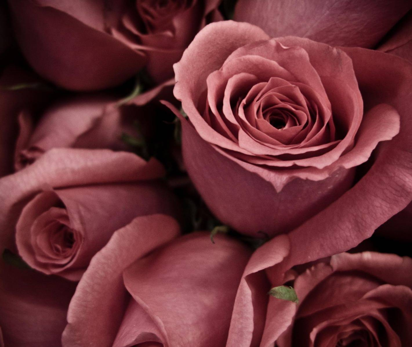 Beautiful Rose Hd