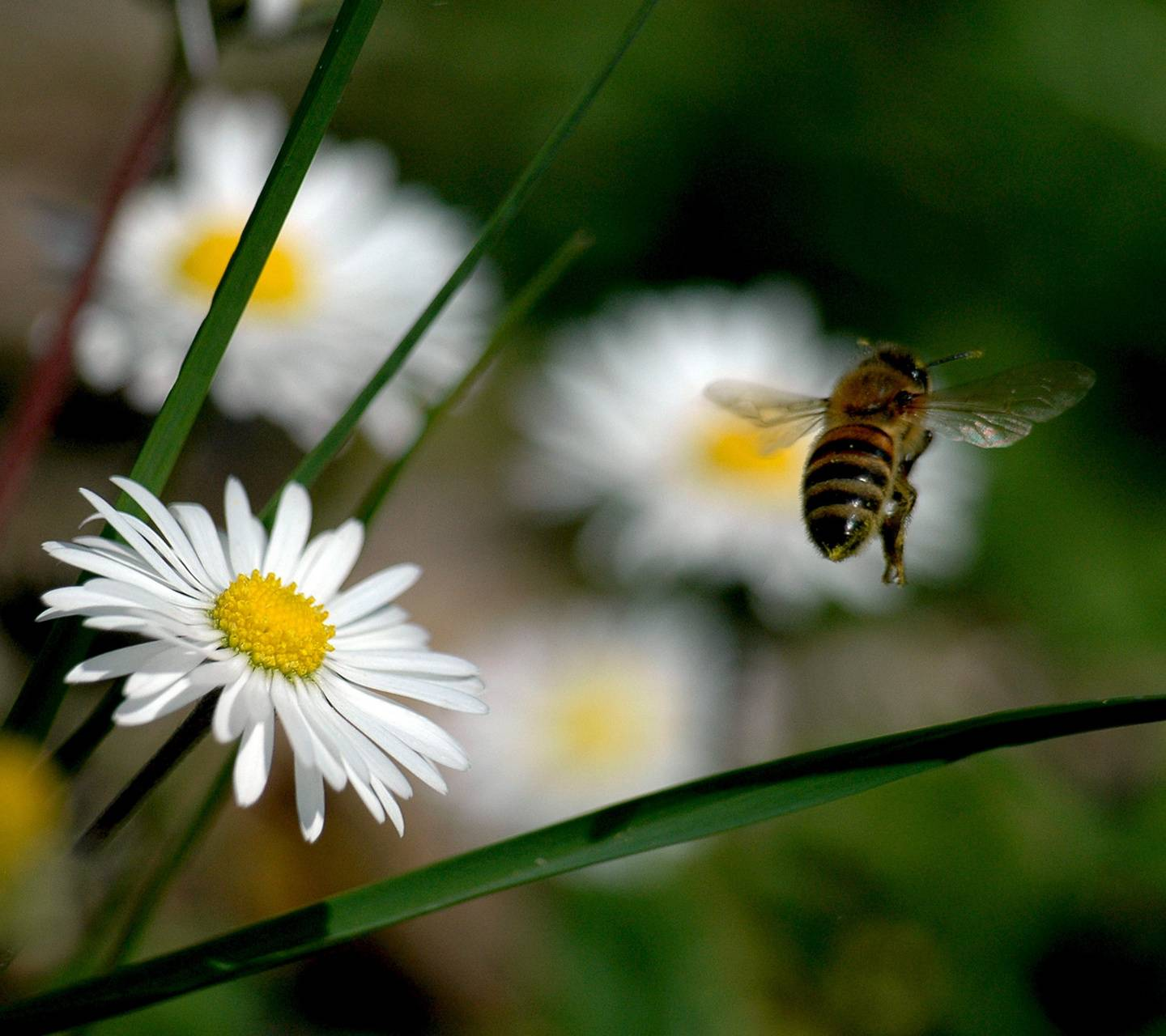 Bee And Daisies