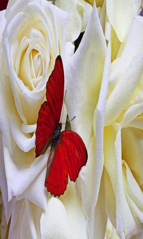 Butterfly Roses