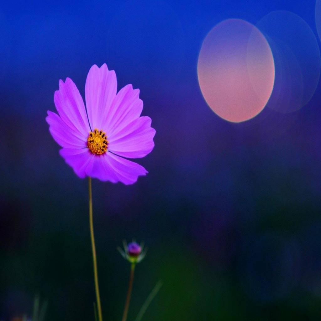 Alone Night flower