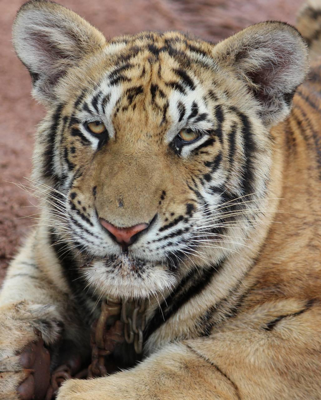 Thai Tiger