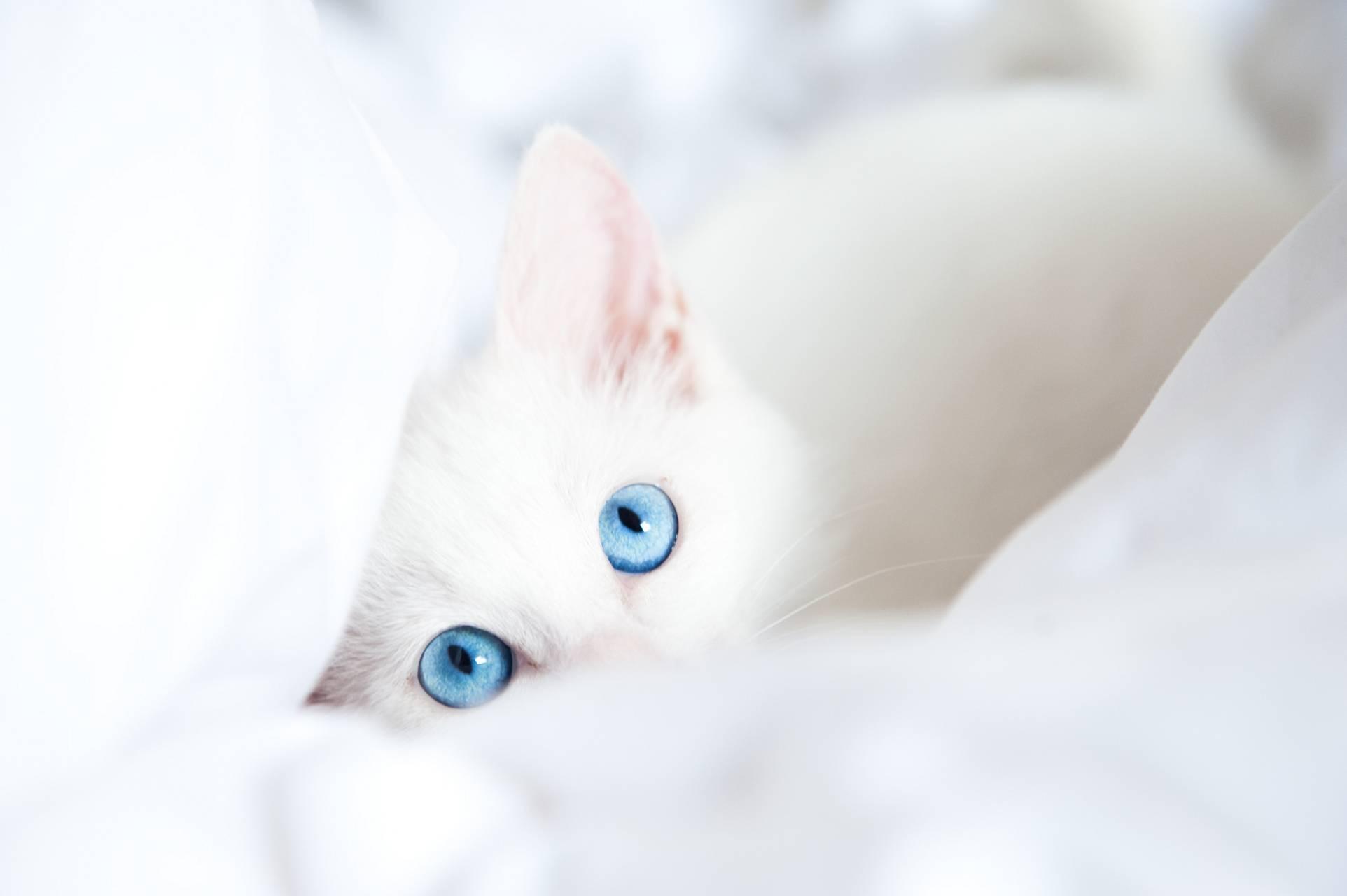 KITTEN WHITE